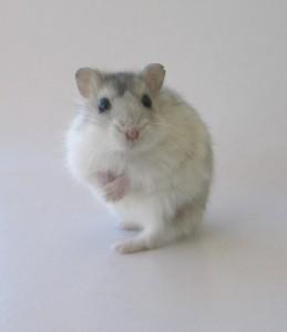 Karen, the voyeur rat